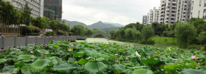 Lishui. Pond overgrown with lotus.
