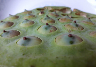 lotus fruit and seeds