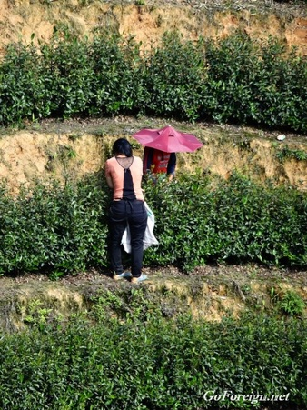 Sichang, tea harvest